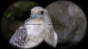 Prismáticos a través vistos jugger del falco del pájaro del halcón de Laggar A través vistos prismáticos r