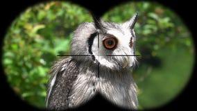 Prismáticos a través vistos leucotis blanco-hechos frente septentrionales del ptilopsis del búho A través vistos prismáticos Obse