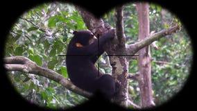 Prismáticos a través vistos malayanus de Helarctos del oso de Sun Animales de observación en el safari de la fauna almacen de video