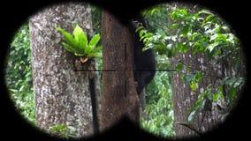 Prismáticos a través vistos malayanus de Helarctos del oso de Sun Animales de observación en el safari de la fauna almacen de metraje de vídeo