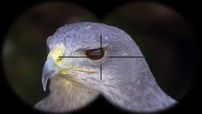 Prismáticos a través vistos melanoleucus Negro-de pecho de Halcón-Eagle Geranoaetus A través vistos prismáticos Observación de pá