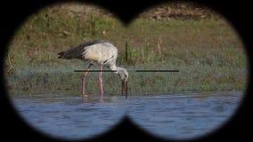 Prismáticos a través vistos oscitans asiáticos del anastomus del pájaro del openbill r