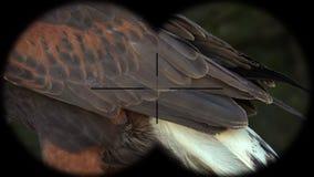 Prismáticos a través vistos unicinctus de Parabuteo del pájaro del halcón de Harris A través vistos prismáticos Observación de pá
