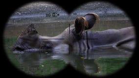 Prismáticos a través vistos unicornis de cuernos indios de un rinoceronte del rinoceronte Animales de observación en el safari de almacen de video