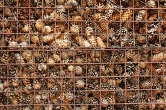 Prison and Imprisonment of Cones Behind Bars. Background of Pine. Background of Pine Cones. Cones on the Grate. Prison and Imprisonment of Cones Behind Bars Stock Photo