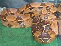 Prisoner. Snake in the aquarium sleep royalty free stock images