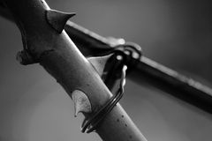 The prisoner. Close-up of barbed tenacle of rose Stock Photos