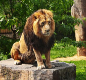 The prisoner lion Royalty Free Stock Photos