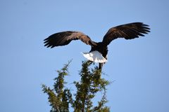 Magestic bald eagle near Cove Palisades state park. Pristine bald eagle landing Stock Image