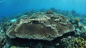 Pristine Coral Reef in Alor, Indonesia. A beautiful and healthy coral reef thrives near the island of Alor, Indonesia. This remote region, within the Coral stock footage