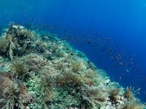 Pristine coral reef with lots of fish. Pristine coral reef teeming with brightly coloured reef fish dropping away into the deep blue with the foreground Royalty Free Stock Photo