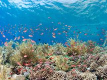 Pristine coral reef with lots of fish. Pristine coral reef teeming with brightly coloured reef fish with the surface of the blue sea visible in the background Royalty Free Stock Photography