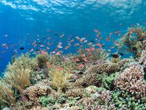 Pristine coral reef with lots of fish. Pristine coral reef teeming with brightly coloured reef fish with the surface of the blue sea visible in the background Stock Photos