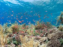 Pristine coral reef with lots of fish. Pristine coral reef teeming with brightly coloured reef fish with the surface of the blue sea visible in the background Stock Photo