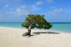 Pristine Divi Divi Tree in Aruba. Perfect divi divi tree in Aruba with a white sand beach on the shore Royalty Free Stock Photo