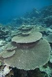 Pristine hard coral formation. Stock Photos