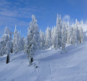Pristine snow trees and blue sky. Pine Trees Heavy with snow. Ski tracks in the fresh snow. Beautiful shadows. blue sky with small white clouds Royalty Free Stock Photography