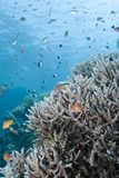 Pristine Staghorn Coral Formation With Fishes. Stock Photo