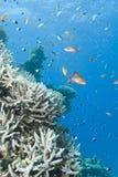 pristine staghorn för korallfiskbildande royaltyfri fotografi