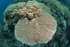 pristine tabell för korallbildande Arkivfoton