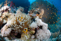 Pristine Tropical coral reef Stock Images