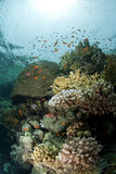 Pristine tropical coral reef in shallow water. Stock Photo