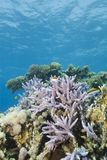 Pristine tropical Staghorn coral formation. Stock Image