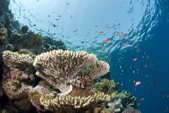 Pristine tropical table coral formation. Royalty Free Stock Photo
