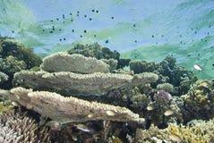 pristine tropisk revtabell för korall royaltyfri bild