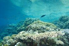 pristine tropisk revtabell för korall royaltyfri foto
