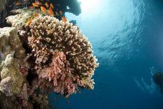 pristine tropiskt för korallbildande hard Royaltyfri Bild