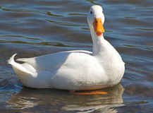 Pristine white duck Stock Images