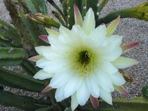 White cereus flower with bud. Pristine white pink and green flower of Cereus cactus with bud and stalk Royalty Free Stock Photography