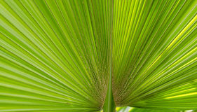 Pritchardia Pacifica Seem Royalty Free Stock Images