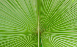 Pritchardia Pacifica Seem Stock Images