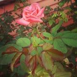 Pritty EN TANT QUE rose Photos stock