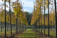 Privat garden, parks tree nursery in Netherlands, specialise in medium to very large sized trees, grey alder trees in rows. Privat garden, parks tree nursery in royalty free stock photos