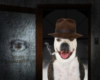 Private Investigator Detective Dog, Bulldog. Funny dog who is a private detective investigator. The bulldog is wearing a fedora hat and smoking a cigarette in royalty free stock photography