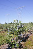 Private Produce on Public Land. A private crop of blueberries are grown on public land comprised of electrical transmission land stock photo