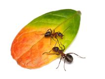 Private property of ant. Ant guarding leaf of cowberry Royalty Free Stock Photo