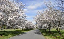 Private Straße der Kirschbäume lizenzfreie stockfotografie