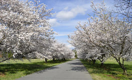 Private street of cherry trees Royalty Free Stock Photography