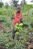 PRIVATE AND STUDY OF CHILDHOOD. African child holding a fresh bunch of bananas in nature, deprived of her childhood and classroom study. While child labor is Stock Photos