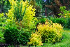 private summer cottage garden view with mixed border with yellow spireas. stock images