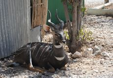 Private zoo in Hargeisa. Royalty Free Stock Photo