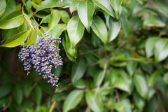 Privet berries bush Stock Photos