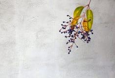Privet berries  wall Stock Images