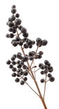 Privet berries. Winter privet berries on white background Royalty Free Stock Photos