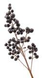 Privet berries. Royalty Free Stock Photos