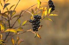 Privet berry Stock Photos